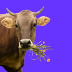 Cow with bouquet